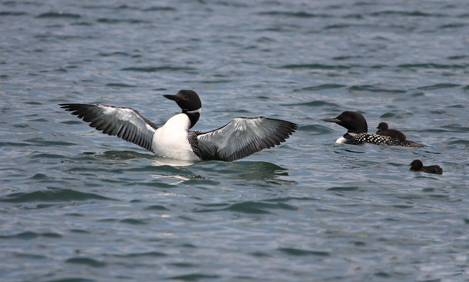 Common Loon, male, female, juveniles on Long Lake