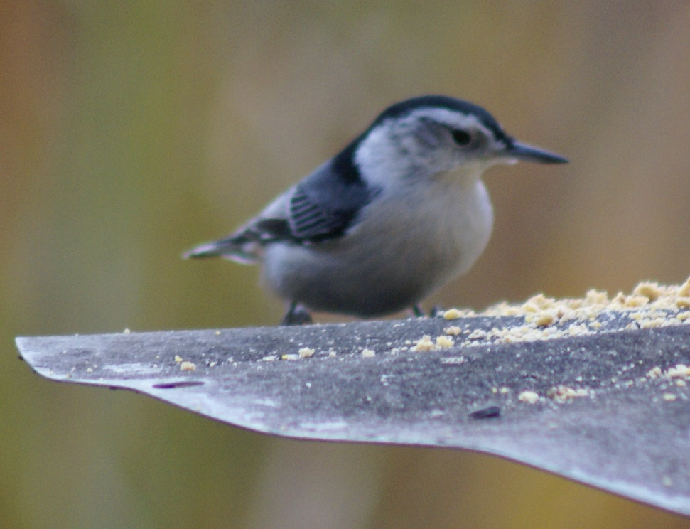 White-breasted Nuthatch, adult, on Long Lake
