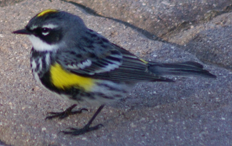Yellow-Rumped Warbler, adult male, on Long Lake