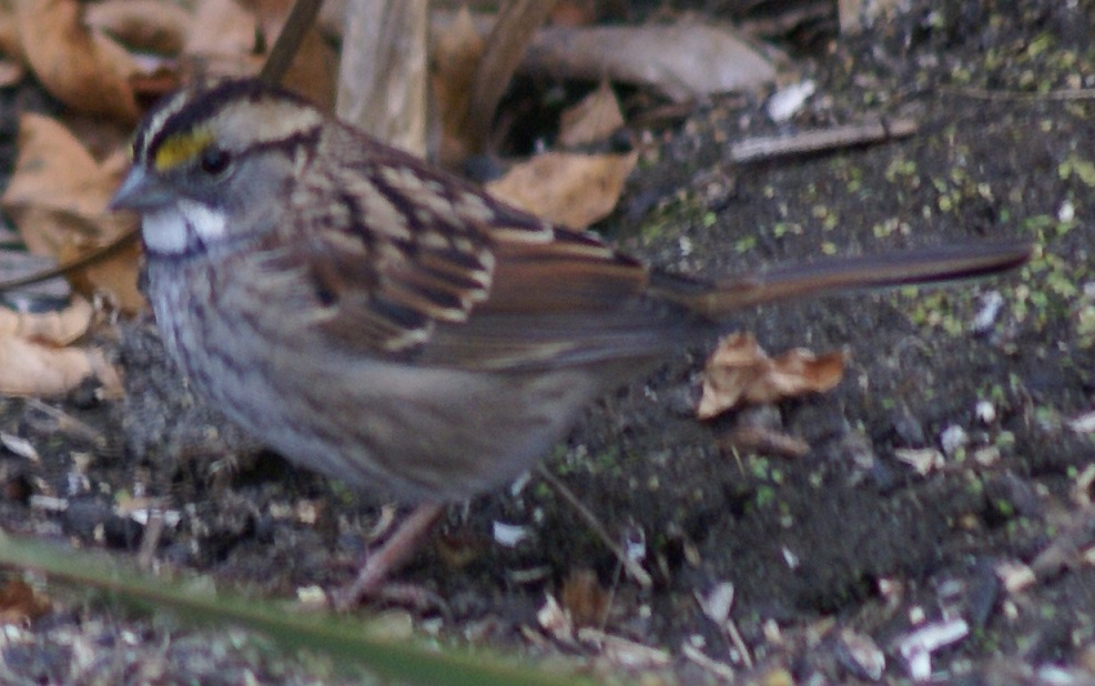 White-throated Sparrow, adult, on Long Lake