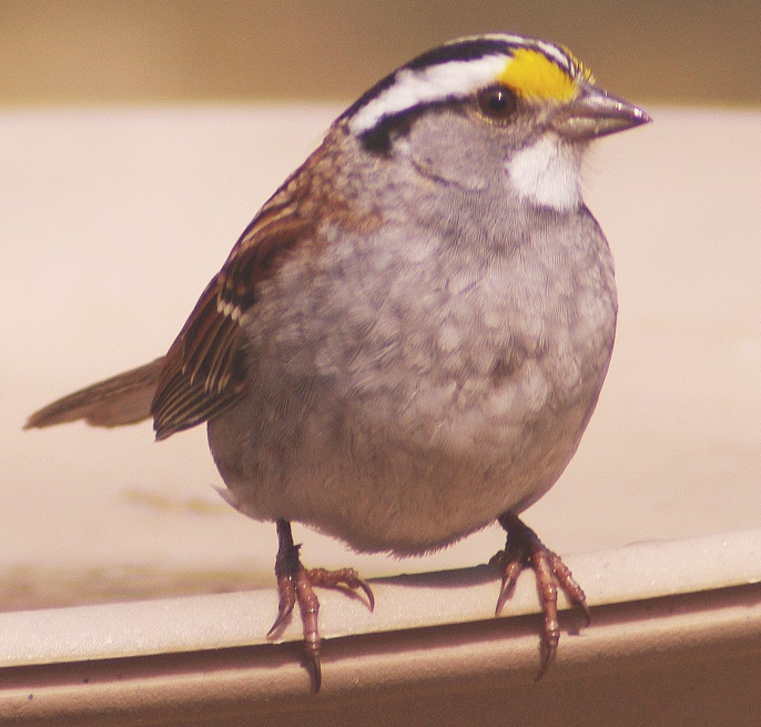 White throated sparrow, adult, on Long Lake