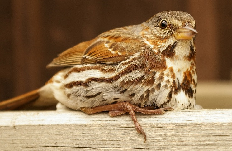 Fox Sparrow, adult, on Long Lake