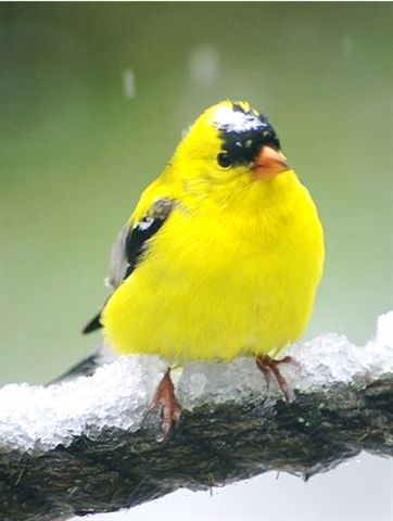 American Goldfinch on Long Lake
