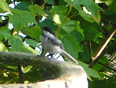 Black-capped Chickadee on Long Lake
