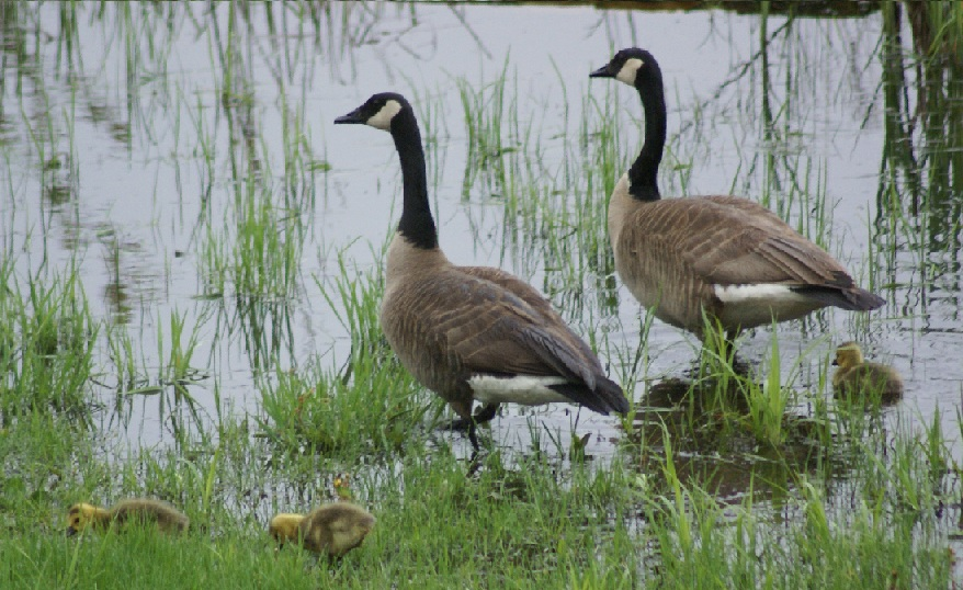 Canada Goose, male, female, and babies, on Long Lake
