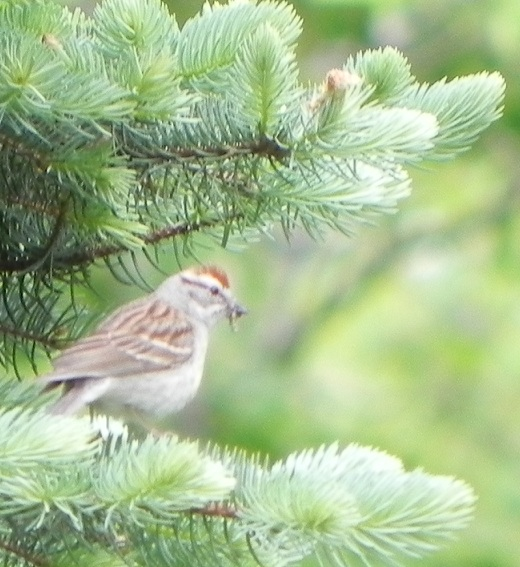 Chipping Sparrow on Long Lake