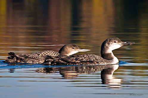 Common Loon, adult, and juvenile, on Long Lake