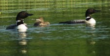 Common Loon, male, female, and juvenile, on Long Lake