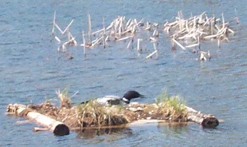 Common Loon on Long Lake