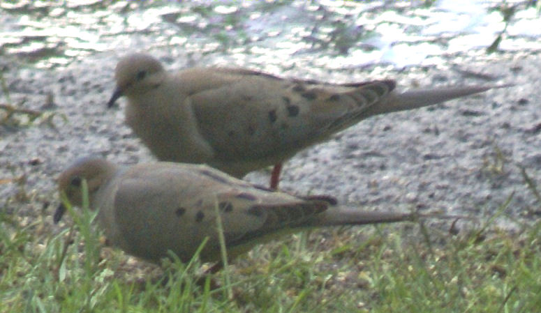 Mourning Dove, male and female on Long Lake