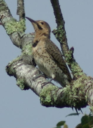 Northern Flicker on Long Lake