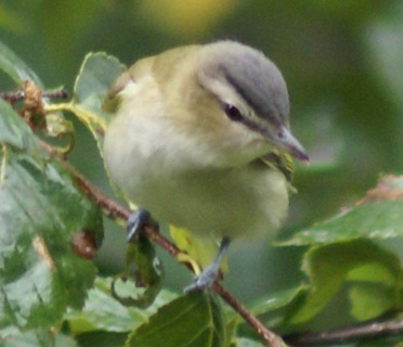 Red-eyed Vireo, adult on Long Lake